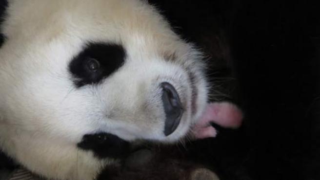 Fotografía facilitada por el Zoo Aquarium de Madrid, de la primera cría hembra de oso panda gigante, entre los brazos de su madre Hua Zui Ba, nacida en las instalaciones del Zoo. Se trata de la quinta cría en la historia del parque madrileño después de Chulín (1982), los gemelos Po y De De (2010) y Xing Bao (2013).