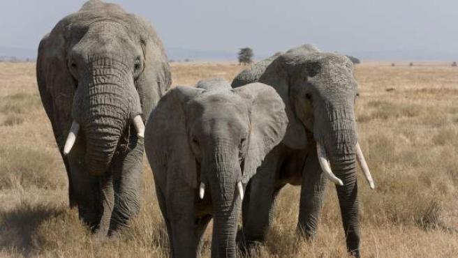 Tres elefantes africanos, paseando por la sabana en el Serengeti, Tanzania.