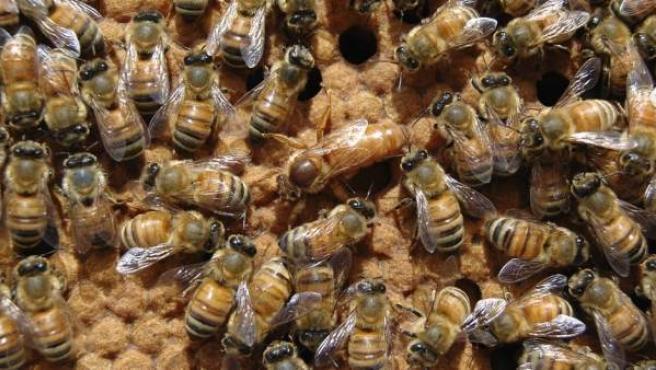Ante el incremento de la mortalidad de las abejas obreras, la fertilidad de la reina es esencial para la renovación de la población y la supervivencia de la colonia.