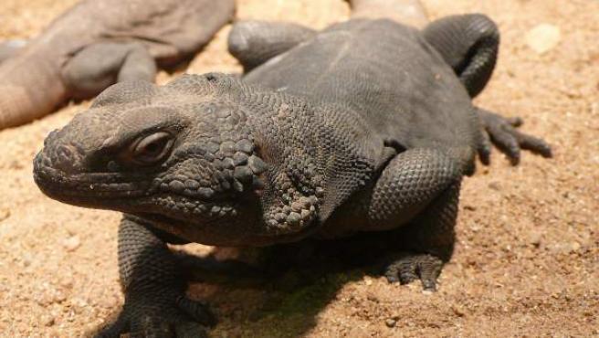 Ejemplar del lagarto Chuckwalla (Sauromalus ater).