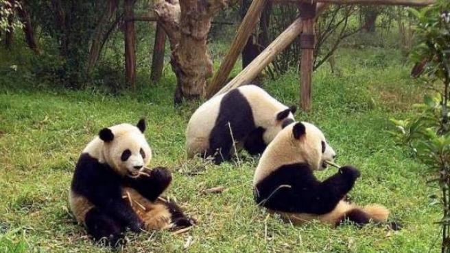 El oso panda, fuera de peligro de extinción según el informe de la UICN.