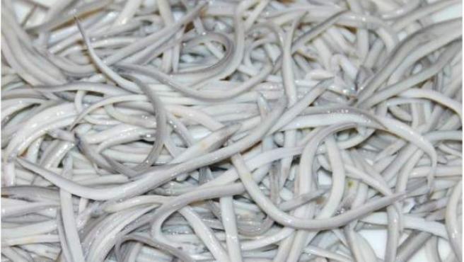 angulas