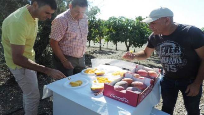 NP Axaragua Organiza Una Cata A Ciegas De Mangos Donde Se Demuestra La Idoneidad