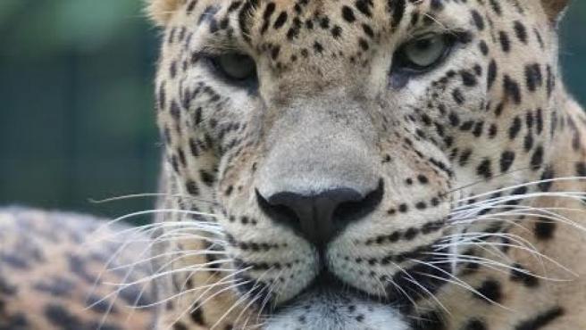 Una imagen de un leopardo asiático.