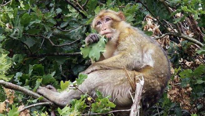 """Imagen del 'macaco de berbería', más conocido en España como 'mono de Gibraltar', en """"el Valle de los Simios"""" de Poitiers (Francia)."""