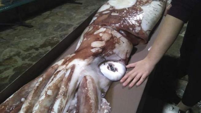Fotografía facilitada por Cepesma (Coordinadora para el Estudio y la Protección de las Especies Marinas) de una cría de calamar gigante de unos 105 kilos de peso que unos vecinos han hallado flotando en aguas de la playa de Bares,
