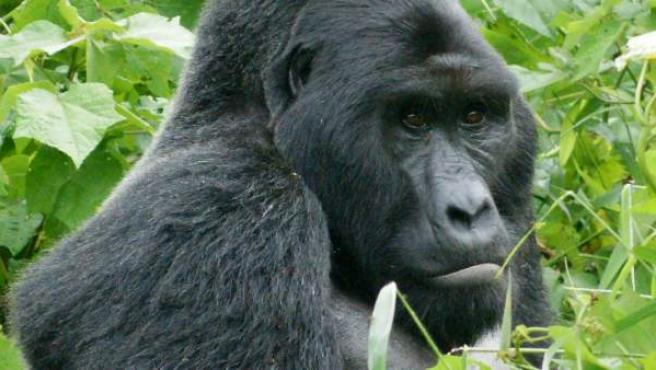Ejemplar de gorila oriental, en una imagen de archivo.