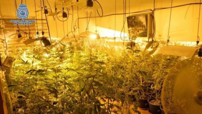 Policía Nacional interviene 324 plantas de marihuana en Marbella