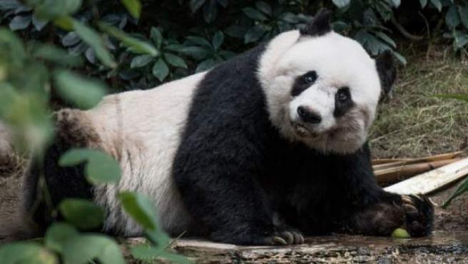 La osa panda Jia Jia, en una imagen de archivo.