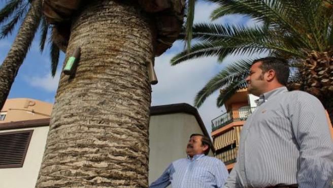 El PP de Mijas critica que no se trabaje para acabar con el picudo rojo