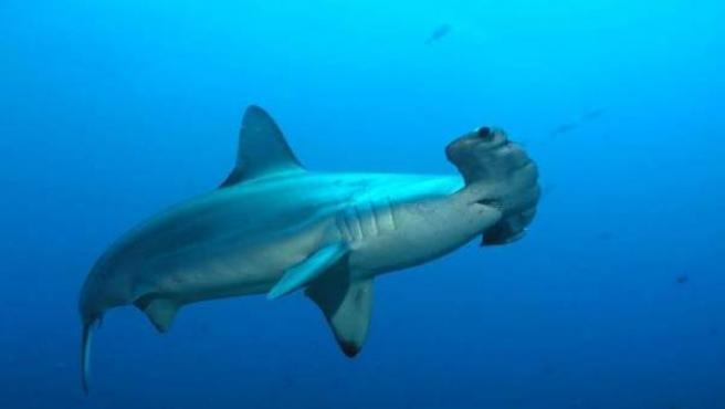 Un ejemplar de tiburón martillo fotografiado en las aguas de la Isla del Coco, Costa Rica.