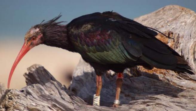 Ejemplar de ibis eremita