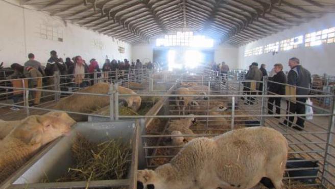 Un año más se celebrará el tradicional concurso ovino.