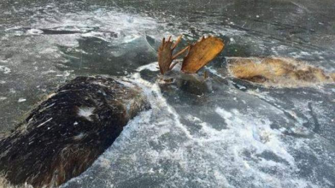 Imagen del hallazgo de dos alces congelados en Alaska.