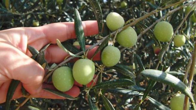 Aceitunas en un olivo.