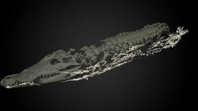 Autopsia virtual de la cocodrilo que albergaba 50 crías momificadas en su interior.