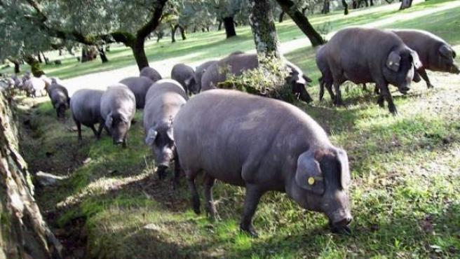 Un grupo de cerdos en una dehesa extreña (ELPAISQUENUNCASEACABA)