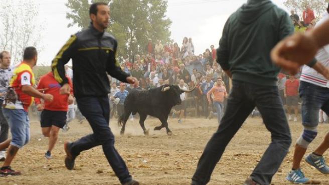 El toro 'Pelado' corriendo por uno de los campos, a las afueras de Tordesillas, durante el Toro de la Peña 2016.