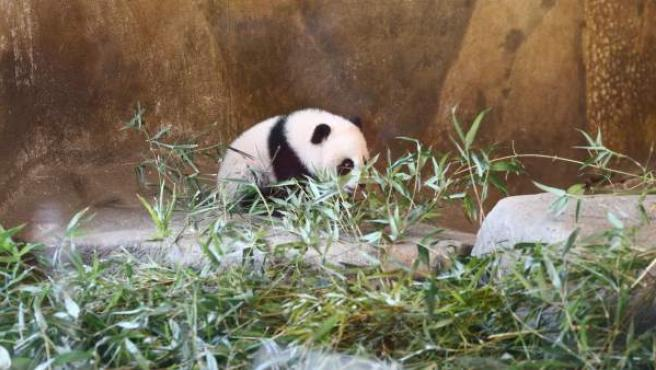 Chulina, la cría de oso panda gigante del Zoo de Madrid.