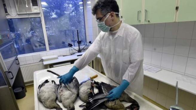 Un operario de un laboratorio en Budapest se prepara para diseccionar varias especies fallecidas a causa de la gripe aviar.