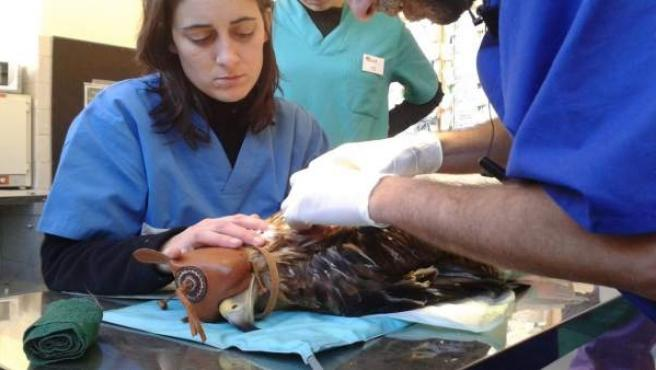 Veterinarios de GREFA atienden un ejemplar de águila Imperial