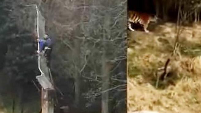 Imágenes de la televisión china en la que se ve a dos hombres encaramados a un muro y el ataque de los tigres.
