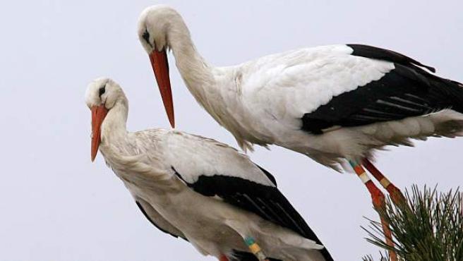Cigüeñas en el Parque Ornitológico de Le Teich.