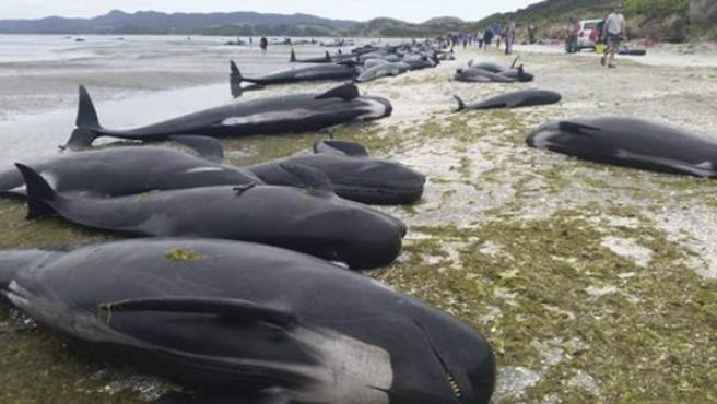 Docenas de ballenas varadas en una playa de Farewell Spit en la Bahía Dorada de Nueva Zelanda.