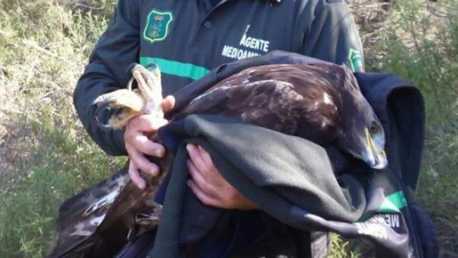 Águila herida por un cazador en Murcia.