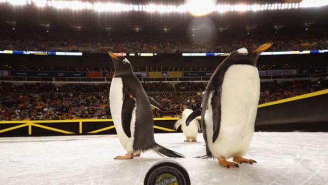 Los pingüinos en el espectáculo previo al partido de la NHL entre los Philadelphia Flyers y los Pittsburgh Penguins en el estado Heinz Field.