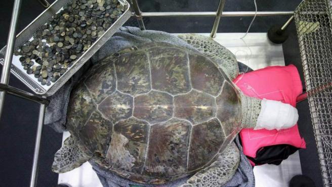 La tortuga descansa tras una operación junto a las monedas que le han extraido del estómago en la Facultad de Ciencias Veterinarias en la Universidad de Chilalongkorn, en Bangkok (Tailandia).