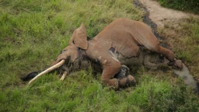 """La zona en la que fue descubierto el 4 de enero el cadáver, es """"una zona caliente para los cazadores de elefantes que utilizan flechas envenenadas""""."""