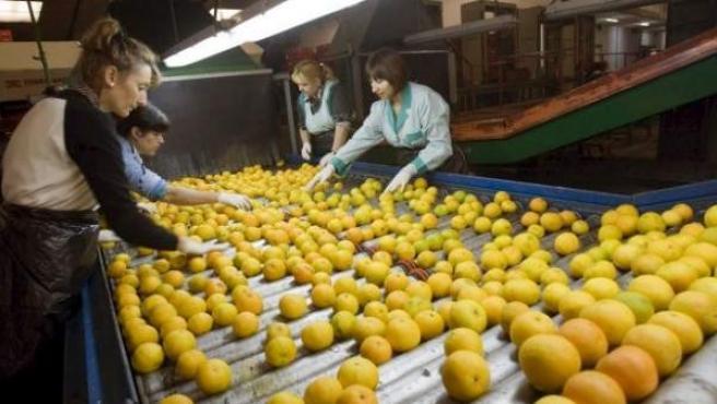 Mujeres trabajando en una cooperativa agrícola de Gandía.