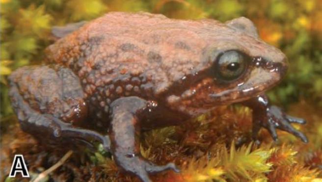 Un ejemplar de rana Attenborough.