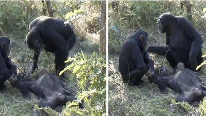 Imagen de unos chimpancés que documenta la primera evidencia en animales de un práctica parecida al ritual mortuorio.