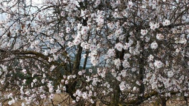 Un cerezo en flor en el parque natural de los Calares del río Mundo, cerca del municipio Molínicos, en la sierra del Segura (Albacete). La floración de estos árboles es algo inusual a estas alturas del invierno y se debe a las altas temperaturas reinantes en la zona.