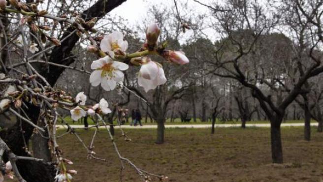 Almendros en flor en la Quinta de los Molinos de Madrid.