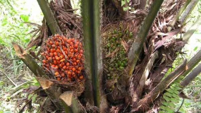 el aceite de palma es perjudicial para la salud