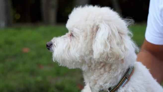 Un perro del tipo bichón, similar al animal que se extravió en Gravelines, Francia, en una imagen de archivo.