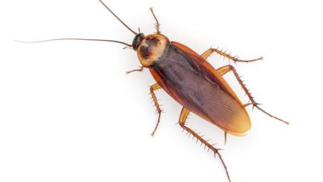 Imagen de una Periplaneta Americana, o cucaracha americana, la más común en España.