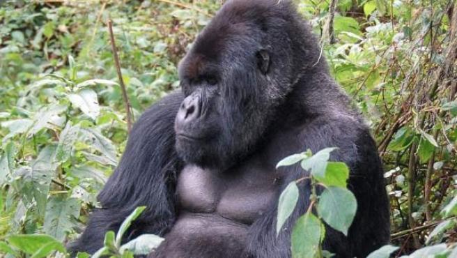 Un macho adulto de gorila de montaña