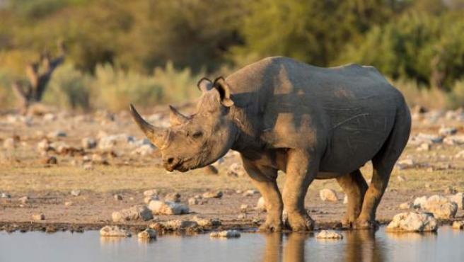 Un ejemplar de rinoceronte.