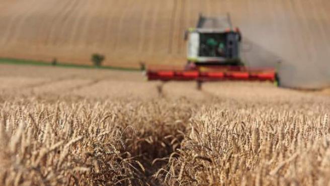 Camión segando el trigo.