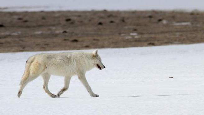 Imagen del lobo blanco del Parque Nacional de Yellowstone, en Estado Unidos.