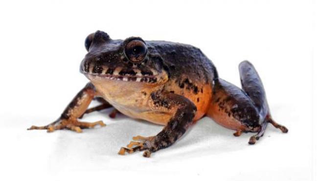 Ejemplar de la rana de vientre rojo (Craugastor escocés).