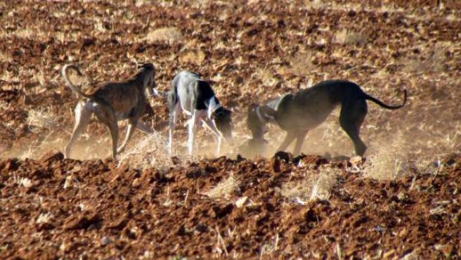Galgos cazando en tierras de cultivo.