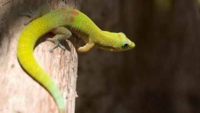 Un gecko, un pequeño reptil, reposa sobre un árbol.