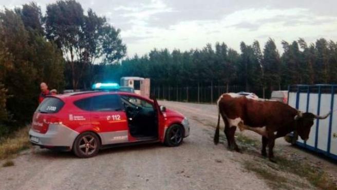 Tres vacas se escaparon en Castejón.