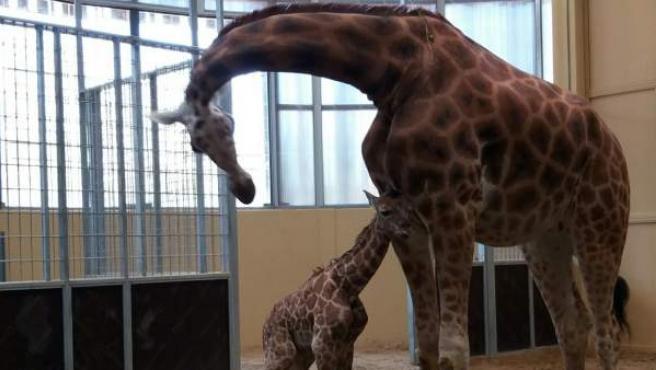 Neix, una girafa del zoo de Barcelona.