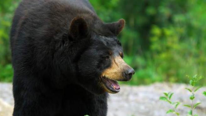 Imagen de archivo de un oso negro.
